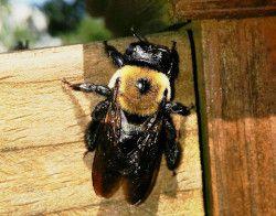 Carpenter Bee Pest Control