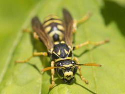 Yellow Jacket Pest Control